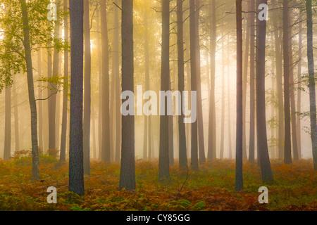 Tree trunks in mist. - Stock Image
