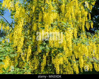 Passage covered by Golden rain, Laburnum anagyroides, garden 'Heilpflanzengarten', Celle, Germany - Stock Image