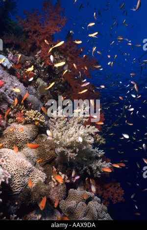 corals and reef fish in the Red Sea - Stock Image