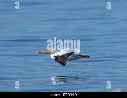 An American white pelican flying low over a The Salton Sea - Stock Image