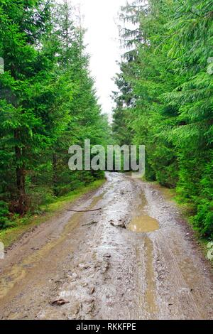rain in forest. Road with puddles and mud in wood during rain. Road between spruces during rain in forest. - Stock Image