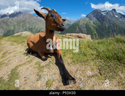 Relaxing goat at Hannig - Stock Image