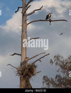 AN osprey eats a fish while a great blue heron looks on from its nest. - Stock Image