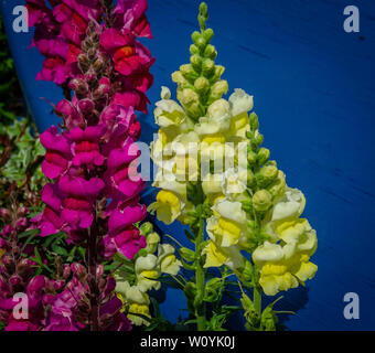 Clourful Snapdragon flowers - Stock Image