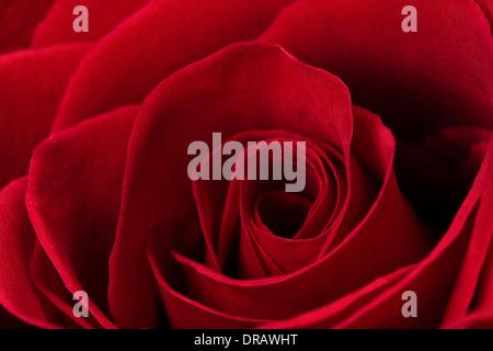 Dark Red Rose - Stock Image