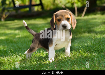 Beagle puppy in the garden - Stock Image