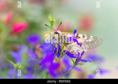 Clodius Parnassian butterfly resting in wildflowers - Stock Image