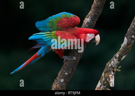 Wild Red-and-green Macaw from Mato Grosso do Sul, Brazil - Stock Image