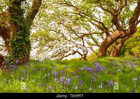 Colour landscape photograph of carpet of spanish bluebells in bloom under windswept trees in background, Taken in Poole, Dorset, England. - Stock Image