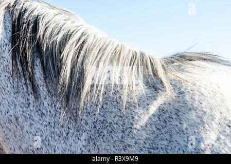 USA, California, Parkfield, V6 Ranch detail of a dapple grey horse's back and mane - Stock Image