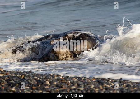 Grey Seal, Kegelrobbe, Halichoerus grypus, Helgoland, mating pair on pebble beach - Stock Image