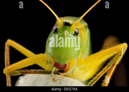Macro view of the Round tipped cone head katydid, Neoconocephalus retusus - Stock Image