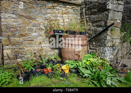 Old oak barrel with overgrown plants in pots in a stone walled cottage garden. - Stock Image