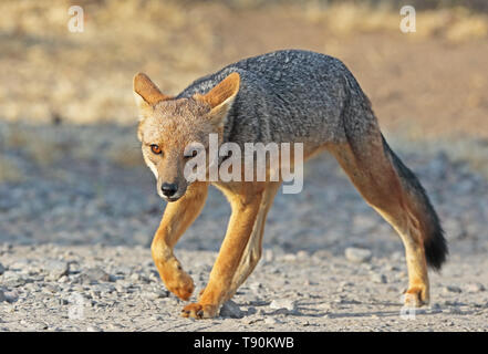 Culpeo (Pseudalopex culpaeus) adult walking on dirt track  Farellones, Chile                    January - Stock Image