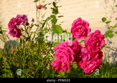 pink roses growing in a garden in a rural village zala county hungary - Stock Image