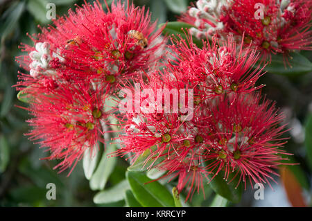 The pohutukawa (Metrosideros excelsa) with its crimson flower has become an established part of the New Zealand - Stock Image