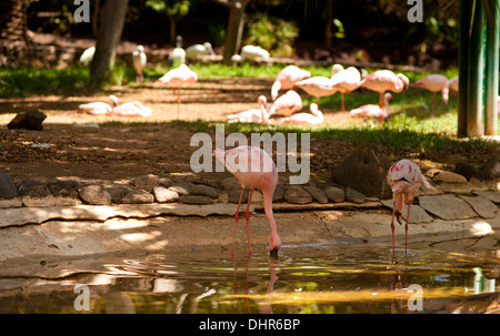 pink flamingos at water edge enjoying the shade - Stock Image