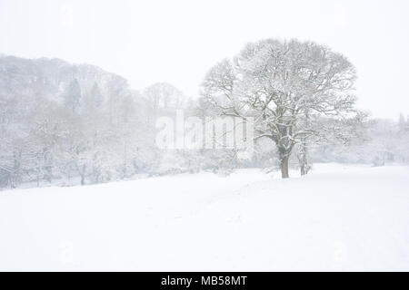 Tree in a snow covered meadow surrounded by woodland Devon Uk - Stock Image