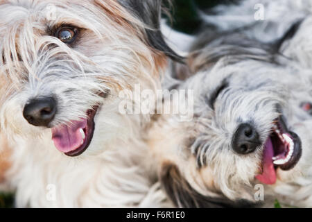 Headshots of two smiling light colored white gray shaggy terrier dogs close together shot from above mouths open - Stock Image