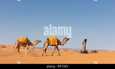 Turbaned Berber driver leading camels in the Moroccan desert - Stock Image