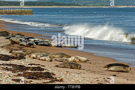 PORTGORDON BEACH MORAY SCOTLAND COMMON SEALS LYING ON THE SAND BELOW THE VILLAGE HOUSES WITH WAVES BREAKING ONTO THE BEACH - Stock Image