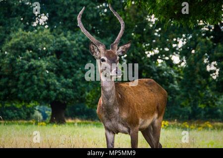 Deer at Wollotan Hall, Nottingham. - Stock Image