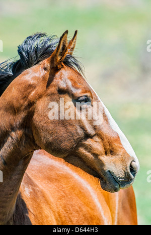 A curious roan horse has come to see me as I passed his pasture on a sunny May morning in southeastern Oregon. - Stock Image