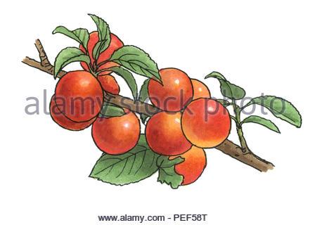cherry plum - Stock Image