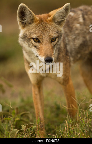 Golden Jackal, Ndutu area of Ngorongoro Conservation Area, nr Serengeti National Park, Tanzania, Africa (Canis aureus) - Stock Image