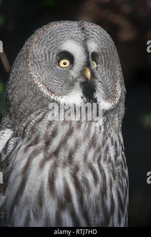 The Great Grey Owl or Lapland Owl, Strix nebulosa - Stock Image
