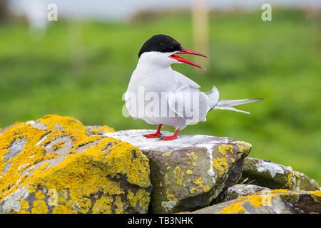 An Arctic Tern, Sterna paradisaea on the Farne Islands, Northumberland, UK. - Stock Image