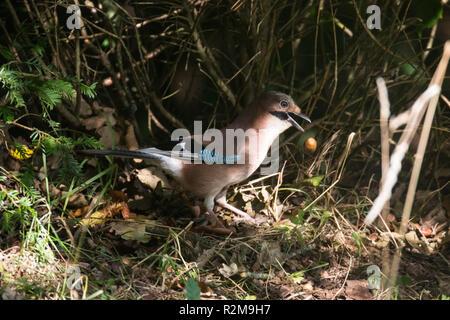 Eurasian Jay  (garrulus glandarius) in shadows collecting acorns and dropping them. - Stock Image