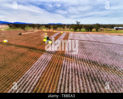 Cotton field with blossoming white boxes harvested by combine tractor and pressed into rolls to transport away from farm field in agricultural region  - Stock Image