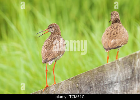 Common redshank (tringa totanus) perched on a pole in farmland. These Eurasian wader bird are common breeders in the agraric grassland of the Netherla - Stock Image