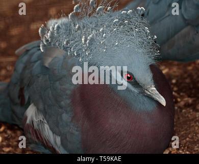 Victoria Crowned Pigeon (goura victoria) - Stock Image