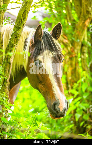 A lovely pony horse peering through the trees. - Stock Image