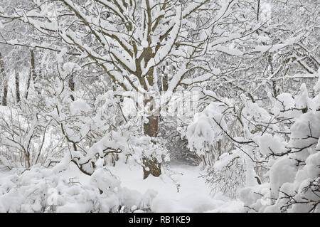 Snowy winter trees, fresh new snow covered garden, lilac branches after blizzard snowstorm, heavy snowfall drifts, multiple tree twigs detail, large - Stock Image