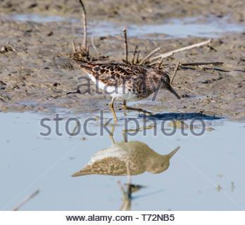 Least Sandpiper, Calidris minutilla, walking in shallow pond in Arizona USA - Stock Image