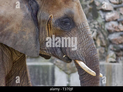 Elephant close up profile portrait - Stock Image