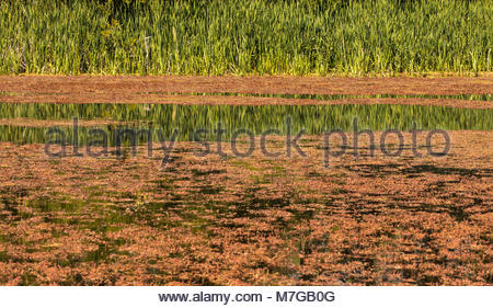 Reflection of grass in a pond covered with duckweed , Christchurch, New Zealand - Stock Image