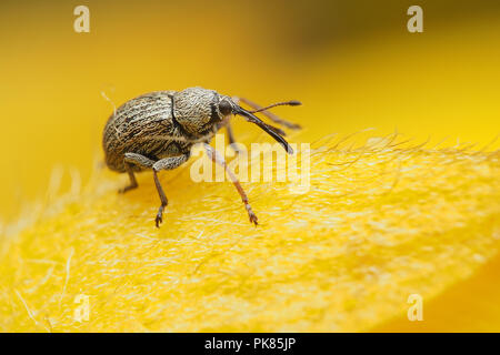 Gorse Seed Weevil (Exapion ulicis) sitting on top of gorse flower. Tipperary, Ireland - Stock Image