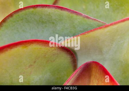 Africa, Namibia, Windhoek. Close-up of succulent leaves. Credit as: Wendy Kaveney / Jaynes Gallery / DanitaDelimont.com - Stock Image