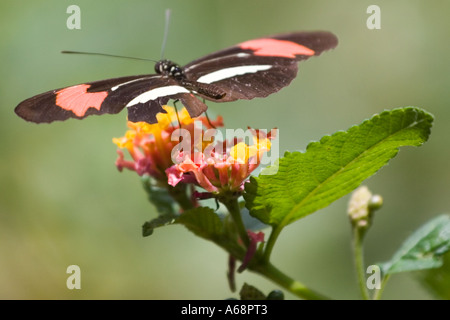 Crimson patched longwing butterfly on a pink and yellow flower - Stock Image