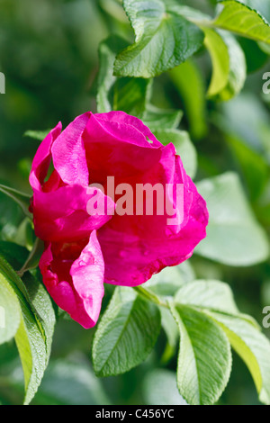 Selective focus image of a blooming pink Japanese rose (Rosa Rugosa). - Stock Image