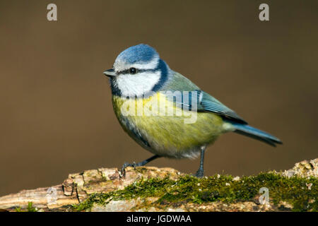 Blue tit, Cyanistes caeruleus, Blaumeise (Cyanistes caeruleus) - Stock Image