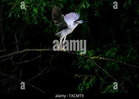 Black-crowned night heron bird above a tree branch opening its wings to take flight - Stock Image