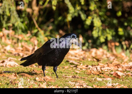 Rook (Corvus frugilegus) standing on the grass surrounded by fallen autumn leaves - Stock Image