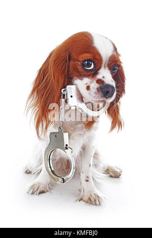 Dog with handcuffs. Illustration against animal cruelty or other concept. Cavalier king charles spaniel dog puppy - Stock Image