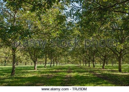 Walnut trees - Stock Image
