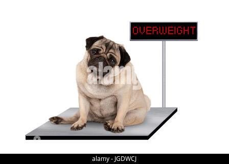 heavy fat pug puppy dog sitting down on vet scale with overweight LED sign, isolated on white background - Stock Image